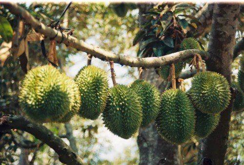 Vườn cây ăn trái tại Cái Mơn, chợ Lách