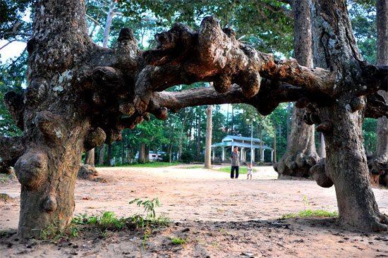 Gốc cây cổ thụ trong ao Bà Om