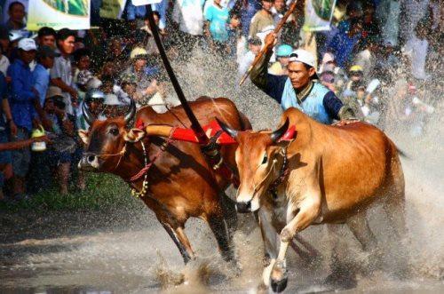 Lễ hội đua bò Bảy Núi của người Khmer ở An Giang