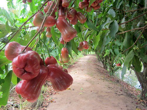 Vườn cây ăn trái ở trong các nhà vườn ở An Bình