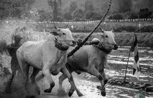 Đôi bò đang về đích