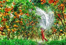 Vườn quýt hồng Lai Vung