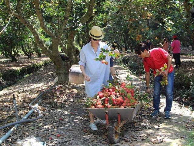 Được hái trái cây ăn bao bụng trong tour du lịch miền Tây 1 ngày