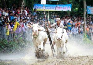 Một đôi bò đang băng về đích trong Lễ hội đua bò Bảy Núi An Giang