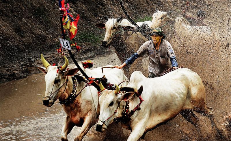 Một pha bức tốc ngoạn mục trong Lễ hội đua bò bảy núi An Giang