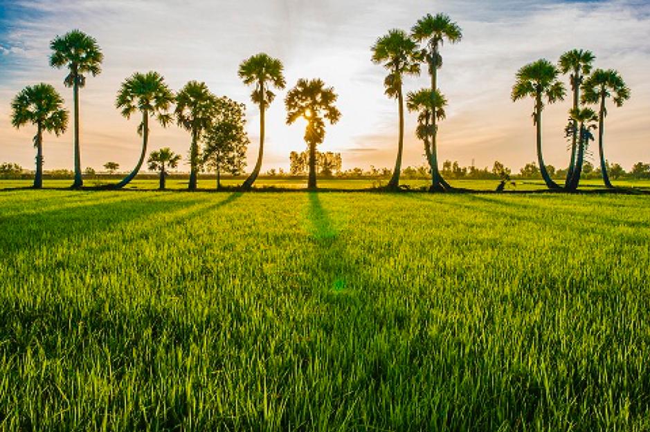 Cánh đồng lúa ở An Giang