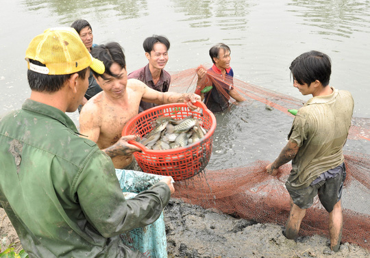 Người dân đang dùng rổ lớn để bắt cá