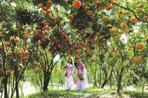 Vào vườn trái cây ở miền Tây để được tự tay hái trái