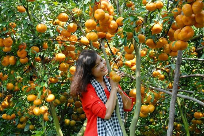 Tham quan Vườn quýt hồng Lai Vung