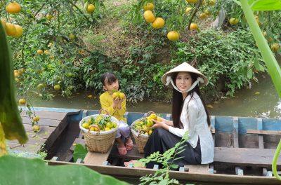 Thu hoạch quýt ở Lai Vung